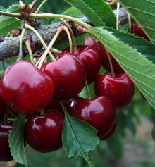 Lapins Cherry Tree Growing Cherry Trees Growing Tree Cherry Tree