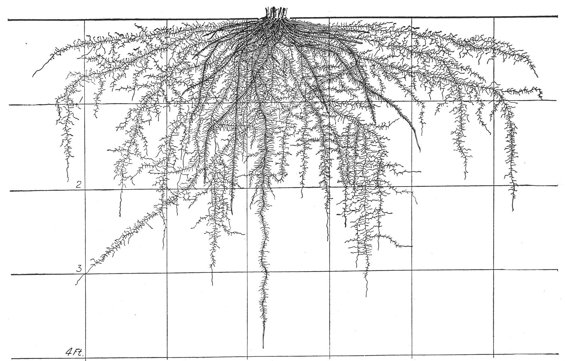 The Root Development Of Vegetable Crops