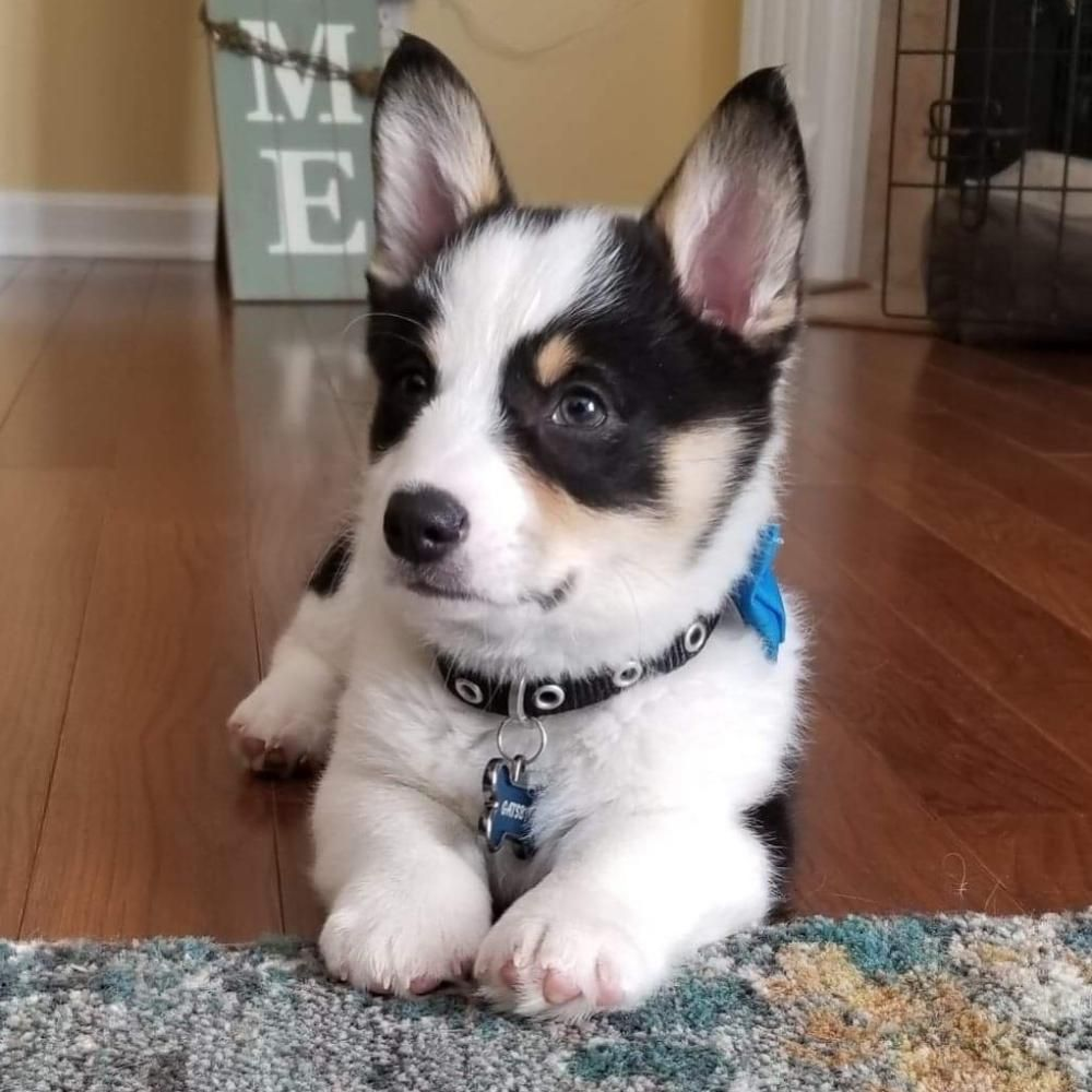 Quality Pembroke Welsh Corgi Pups Home Available Puppies In 2020 Welsh Corgi Puppies Corgi Puppies For Sale Corgi