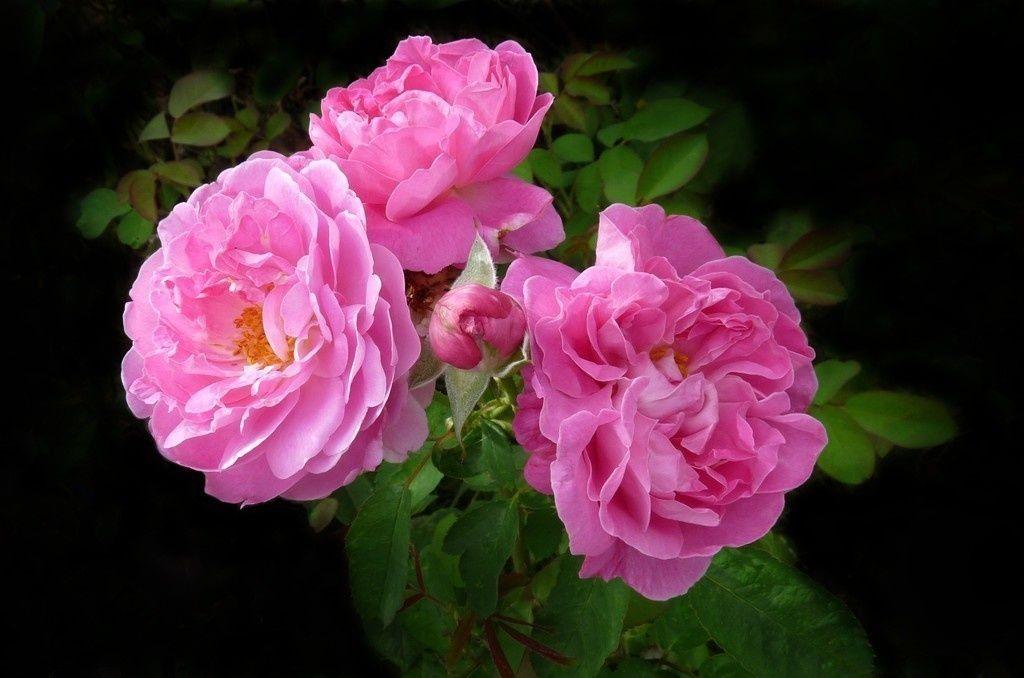 Deep Pink Roses Blossom Flowers Wallpaper Purple Flowers