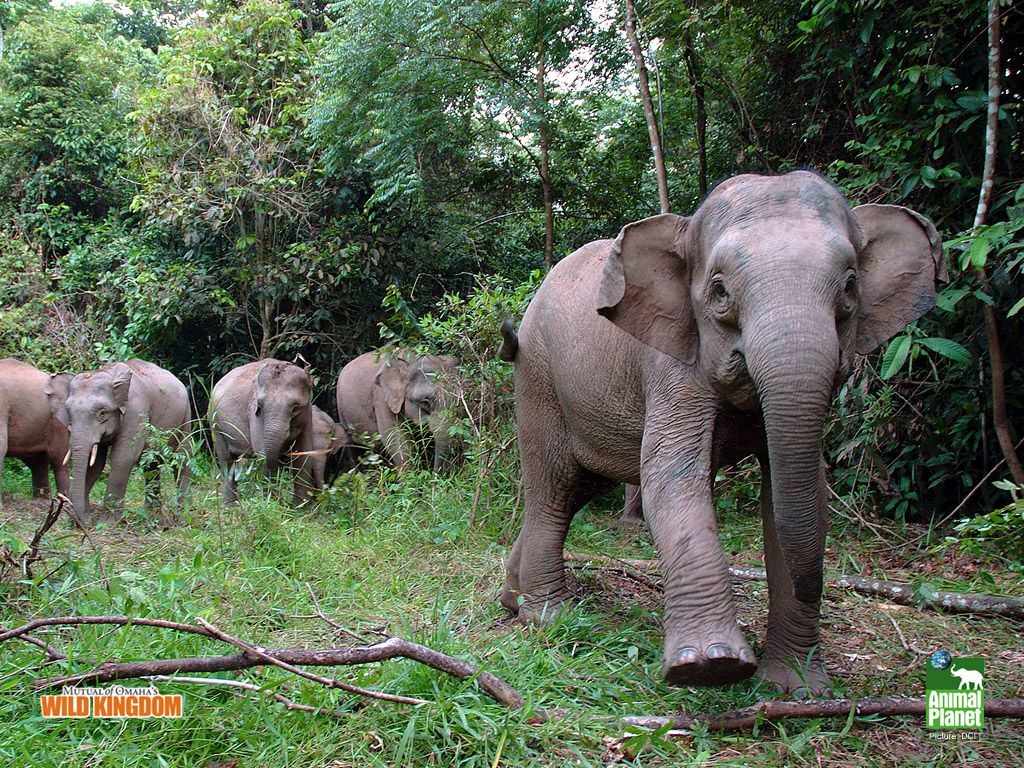 Borneo Pygmy Elephants | Pygmy Elephants!!!!!!! Adorable ...