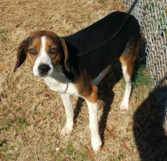 Baxter Is A Tall Beagle Boy About 2 Years Old Super Sweet And