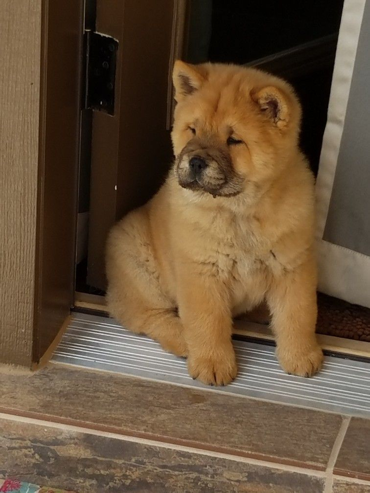 Chow Chow Dogs 101 Interesting Facts And Information Chowchow