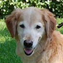 This Is Harley And He Is 9 Years Old He Was Found By A Good Sam In The Middle Of A Road During A Rainstorm Golden Retriever Rescue Golden Retriever Retriever