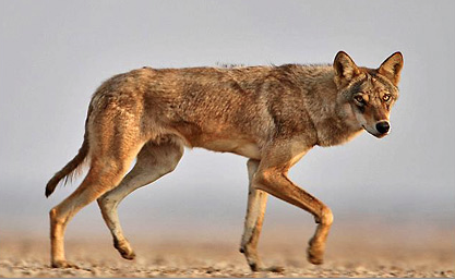 Indian Wolf Canis Lupus Pallipes A Subspecies Of Gray