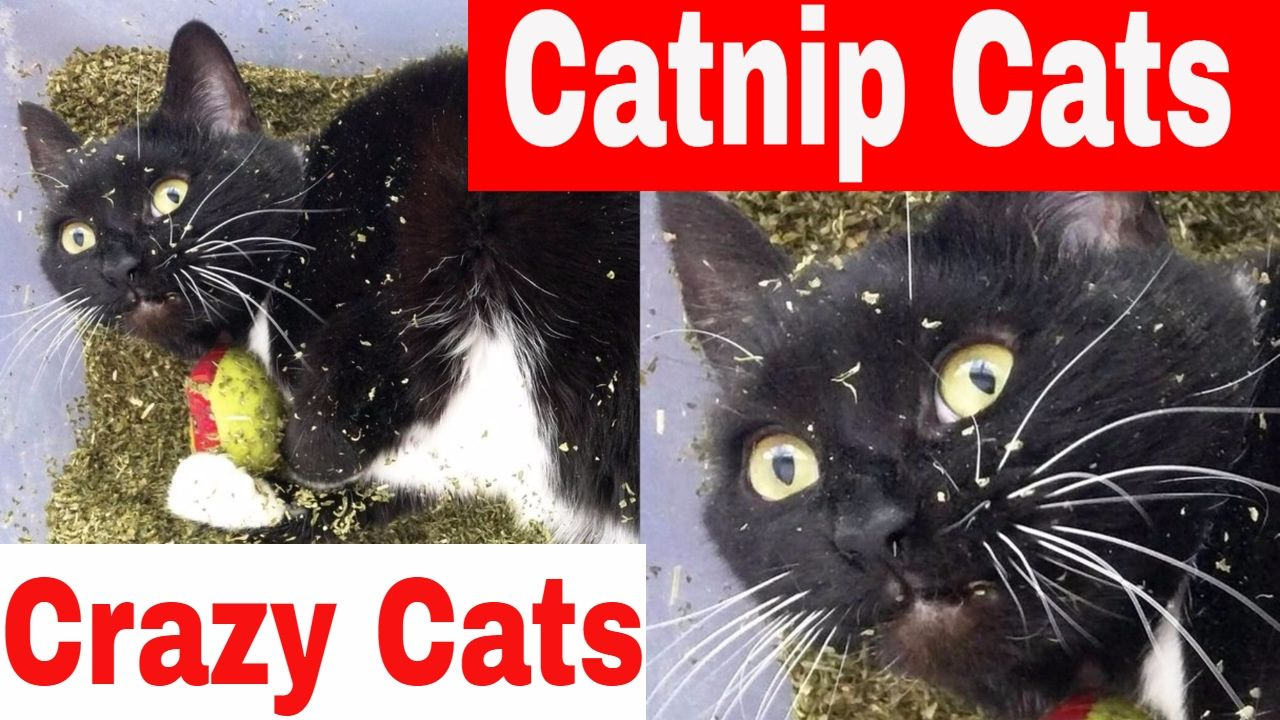 Cats And Catnip What Is Catnip And How Does It Work