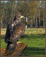 Valuwee eagle.