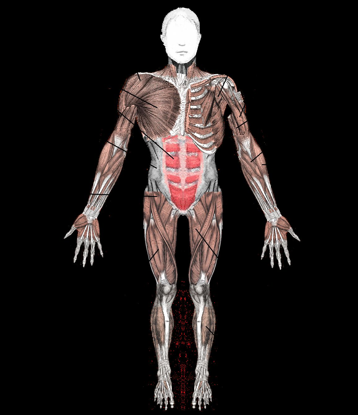Diagram Of Muscular System With Images