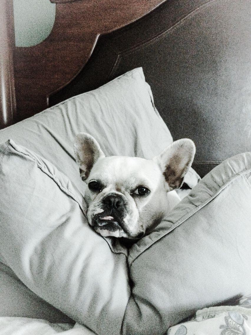 Pin by Zouzouni on so cute..... French bulldog
