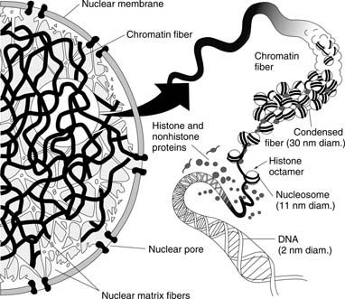 nucleosomal barrier to transcription  structural