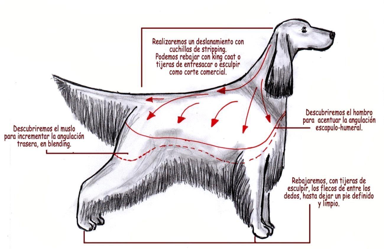 arreglo de setter inglés. dibujo de miguel lluch. | perros | pinterest