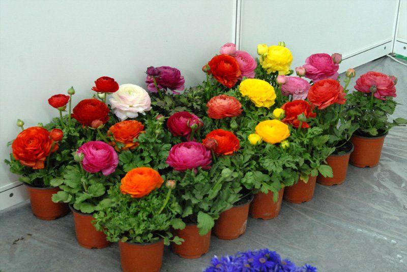 Ranunculus Flowers For Sale Bulb Flowers Flowers For Sale Ranunculus Flowers