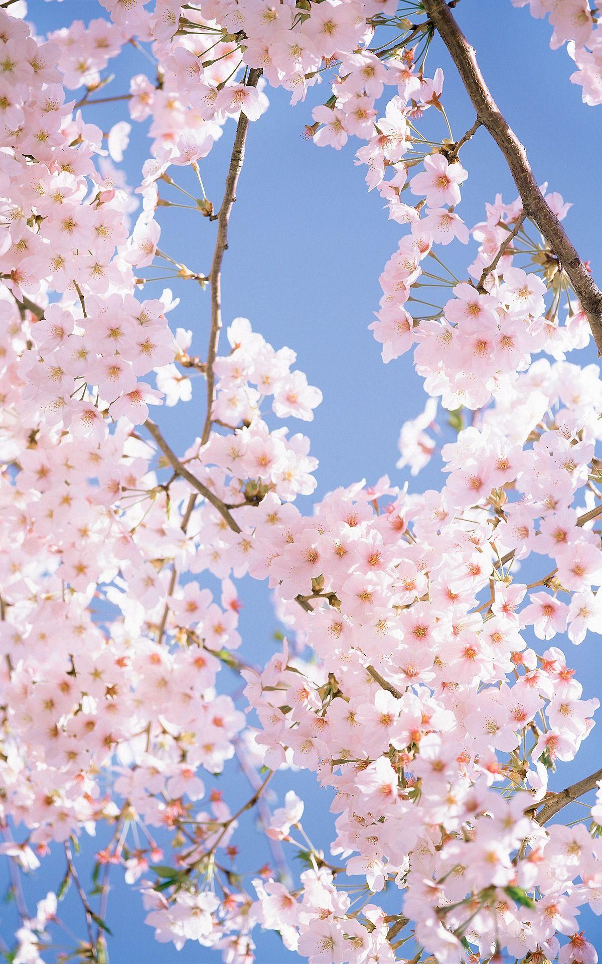 Cherry blossom sky Cherry blossom wallpaper, Blossom