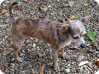 Southern, NH - Chihuahua Mix. Meet Joy a Dog for Adoption.