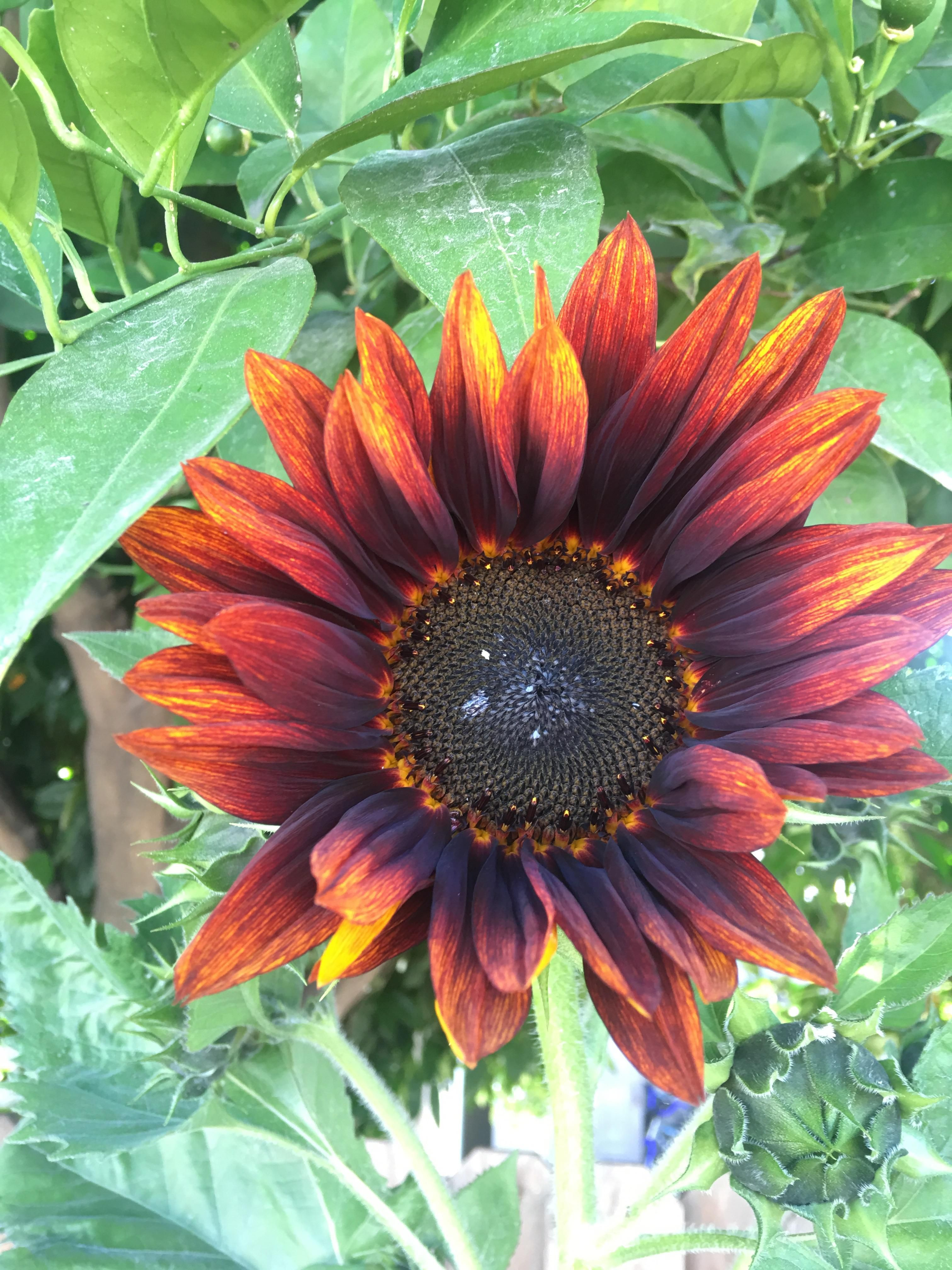 We Didnt Plant Sunflowers This Year Gardening Garden Diy Home Flowers Roses Nature Landscaping Horticulture Plants Sunflower Horticulture