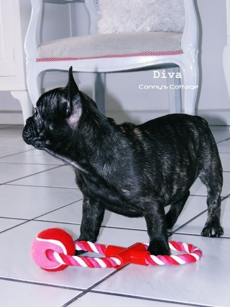Diva, the French Bulldog