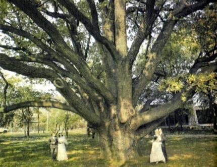 Zaporozhye-oak