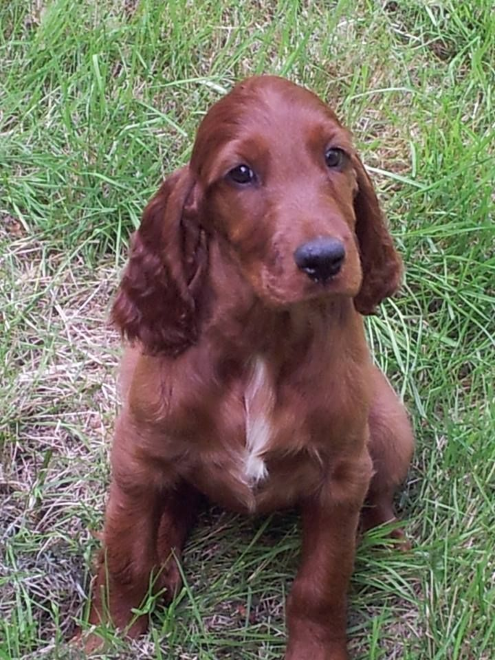 Pretty Irish Setter Baby With Your Beautiful Blaze Irish Setter