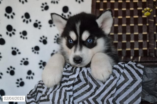 Siberian Husky Puppy For Sale In Ohiohttp Www Buckeyepuppies Com