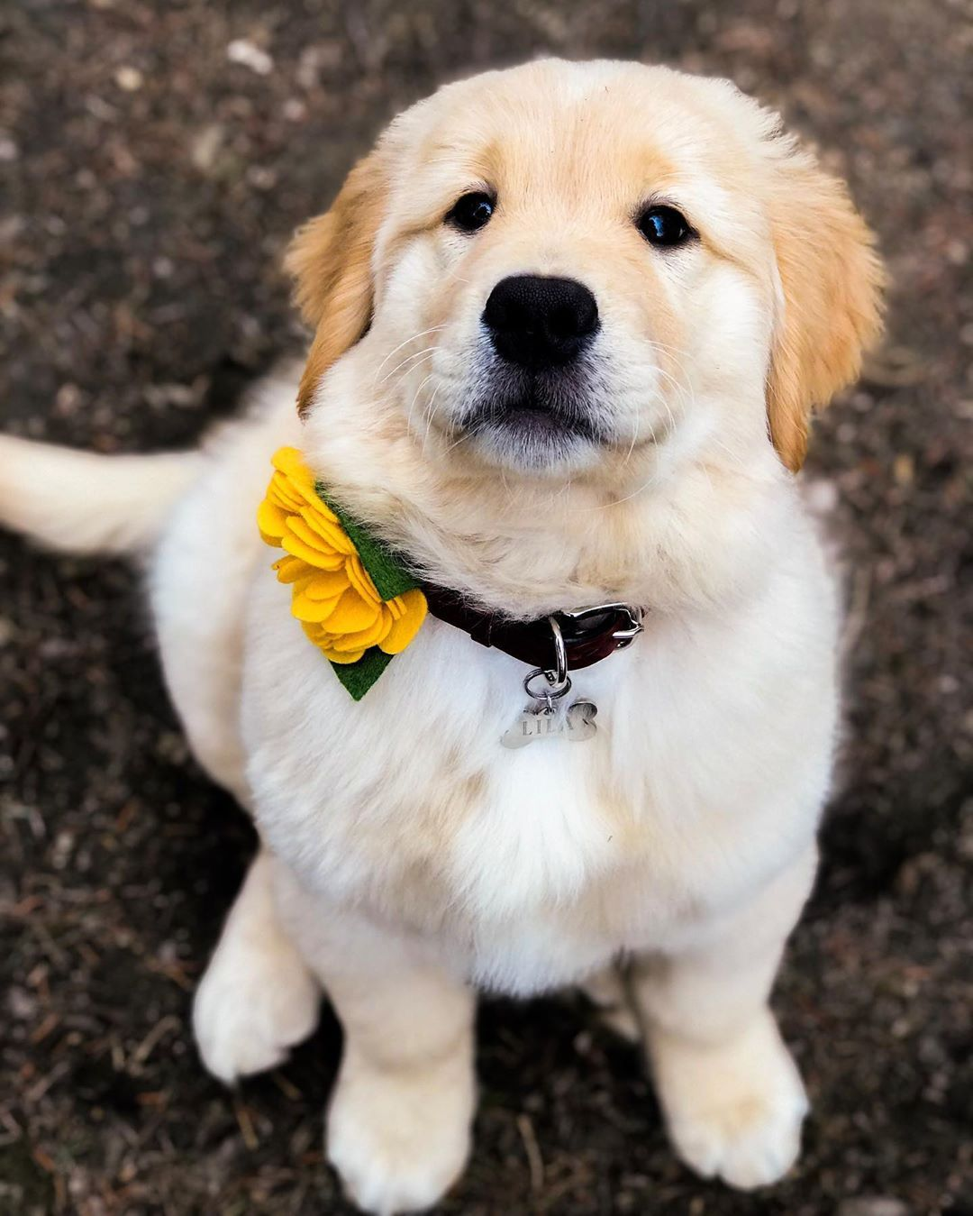 Lila The Golden Retriever On Instagram Still Chilly In Chiberia But I M So Ready For Spring Springtime Lil Golden Retriever Retriever Retriever Puppy