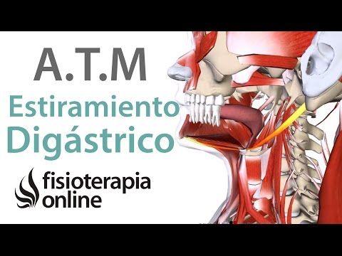 Ejercicio De Estiramiento Del Músculo Digástrico Para El Bruxismo Fisioterapia Online Estiramientos Dolor De Mandibula Ejercicios De Estiramiento