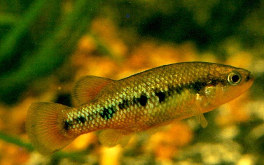 Goodeid - Characodon lateralis