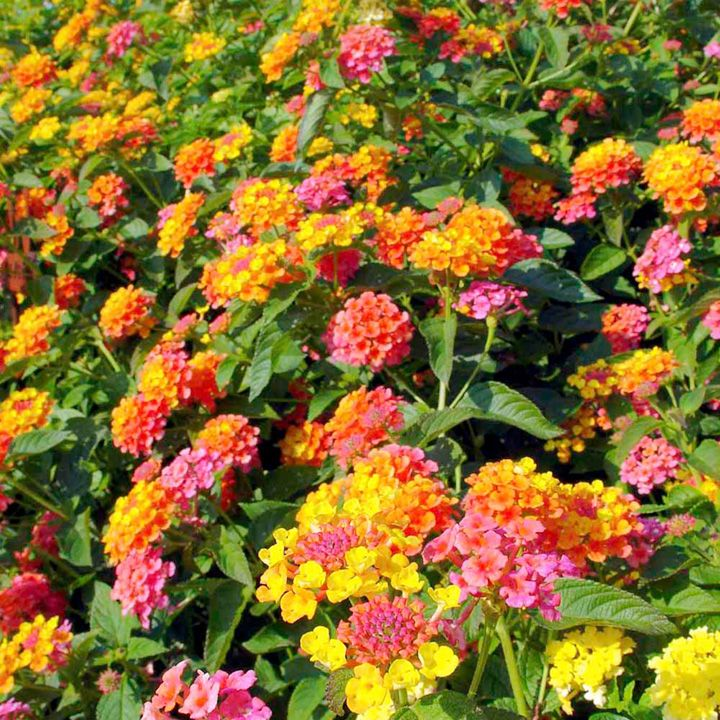 Lantana Plant Miss Huff At Suttons Seeds Lantana Plant Lantana Bonsai Flower