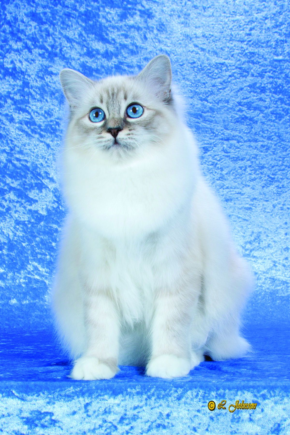 Birman (With images) Birman cat, Cats and kittens