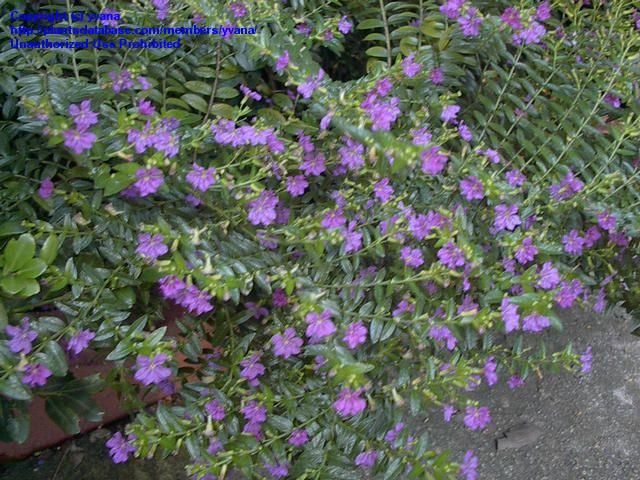 Full Size Picture Of Mexican Heather False Heather Cuphea Hyssopifolia Plants Flower Landscape Heat Tolerant Plants