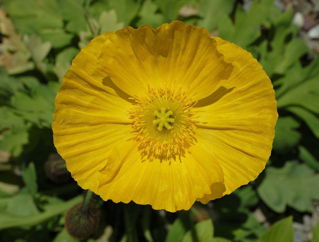 Image Result For Yellow Poppy Needle And Nuno Felting Pinterest