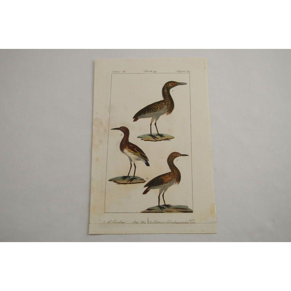 Gravure D'oiseaux Ancienne Colorée à La Main Tav. 99