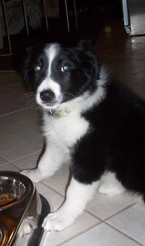 Adopt 316 Lulu 4 Rescued On Collie Dog Border Collie