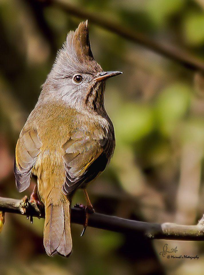 Pin on Bird SongWhiteeyes,Yuhinas,Babblers,
