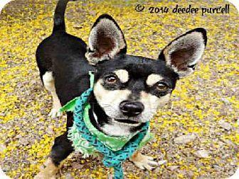 Mesa Az Miniature Schnauzer Dachshund Mix Meet Scruffy A Dog