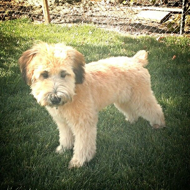 After Griffin S First Haircut Soft Coated Wheaten Terrier 5