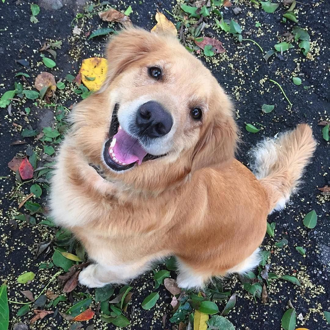 Everything About The Trustworthy Golden Retriever Pups Size