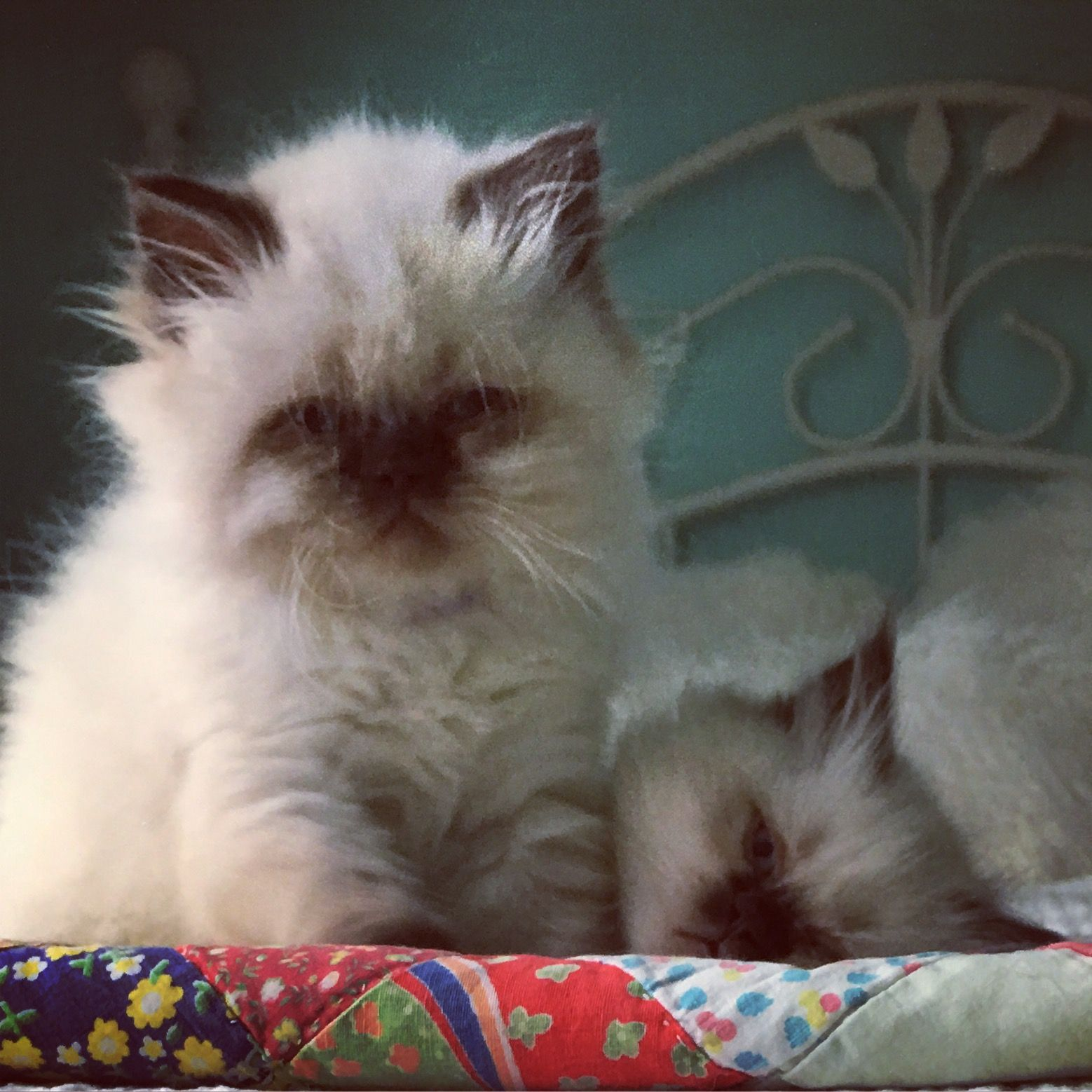 Himalayan persian kittens ready to go cat love pinterest