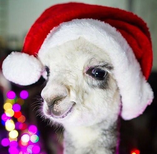 Alpaca wearing Santa Claus hat | Santa Claus Hats | Pinterest ...