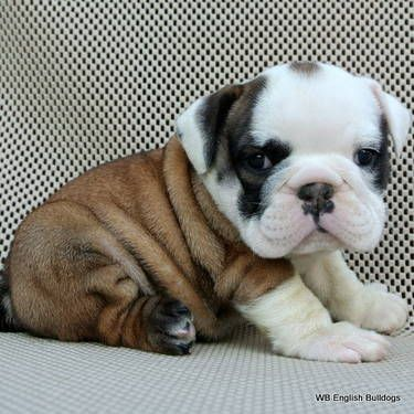 VICTORIA Ellite Quality English Bulldog
