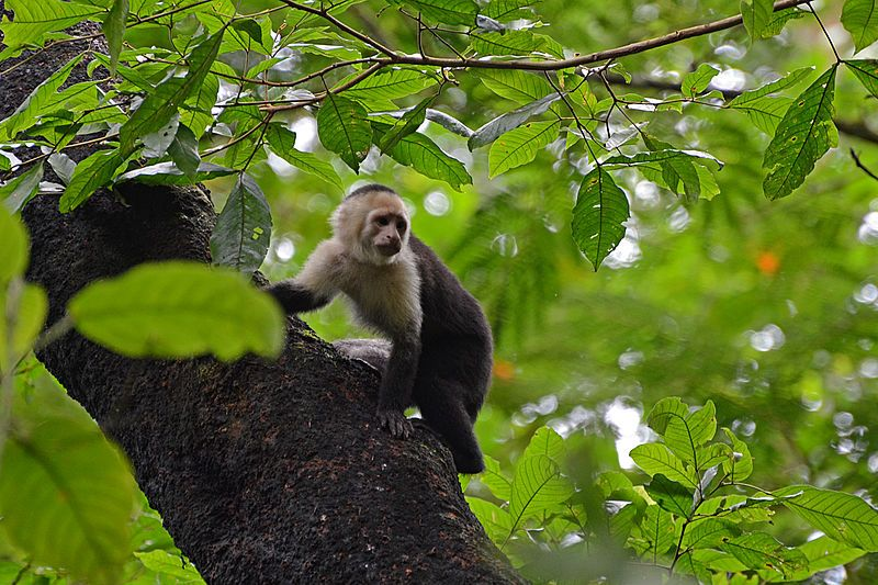 La Selva Biological Station Wikipedia Koala bear