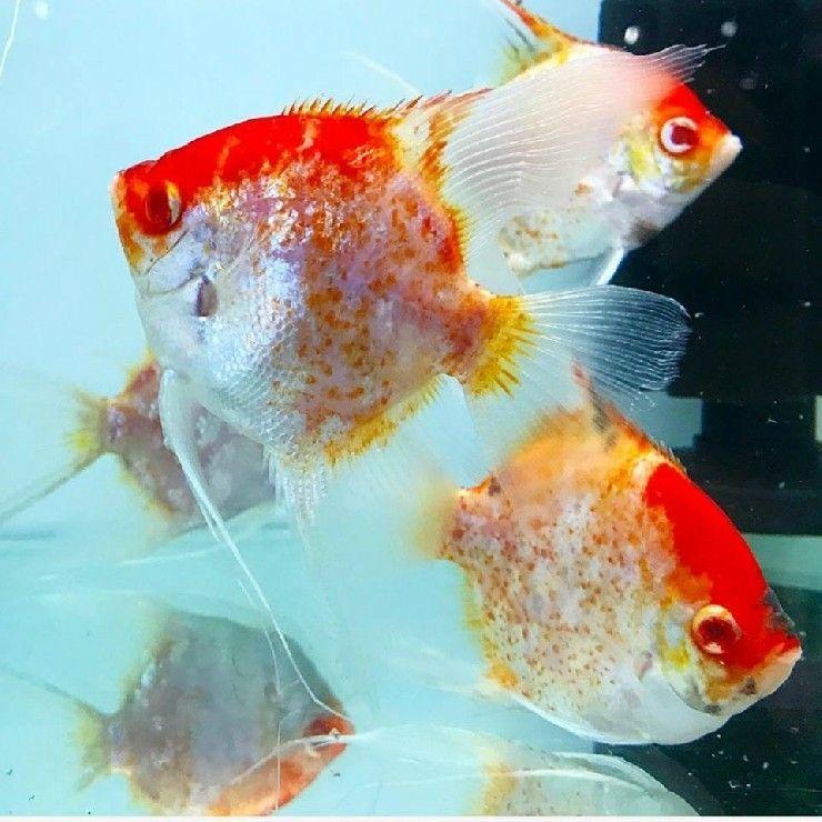 Now Here Are Some Unique Genetic Variants In Angelfish Blushing Albino Red Caps Angel Fish Tank Aquarium Fish Tropical Fish Aquarium