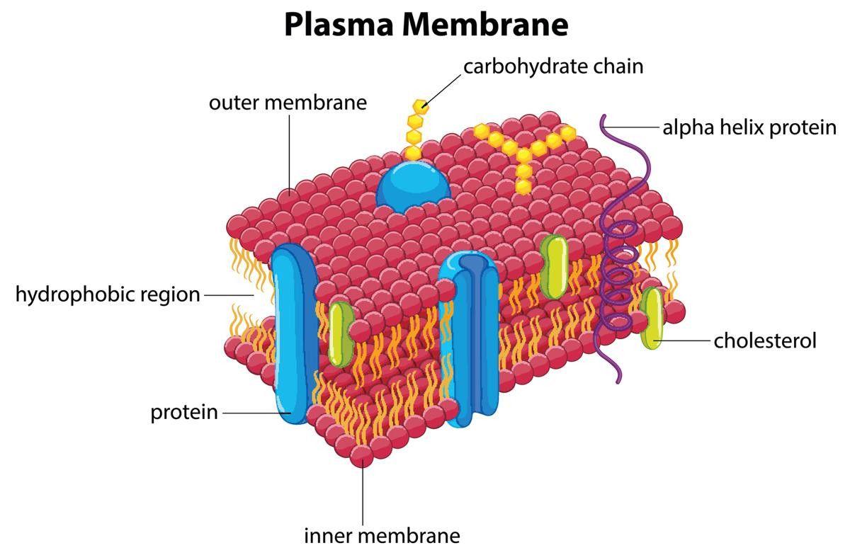 Labeled Diagram Of Plasma Membrane Elegant Functions Of The Plasma Membrane In 2020 Plasma Membrane Membrane Plasma