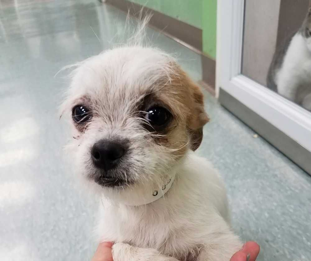 Brussels Griffon dog for Adoption in San Angelo, TX. ADN ... Adopt A Brussels Griffon Puppy