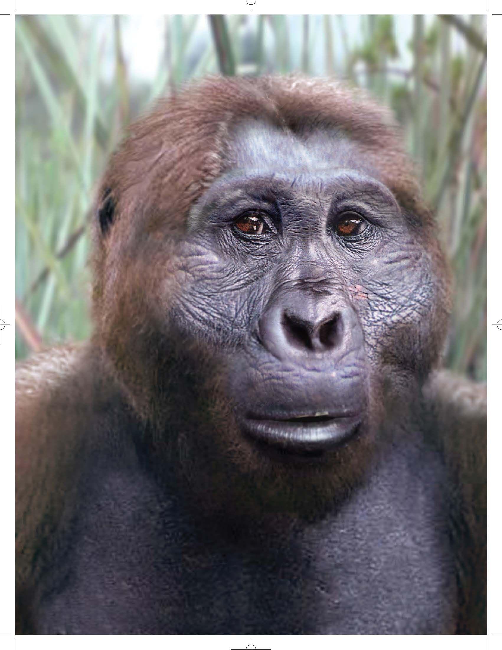 Paranthropus boisei, entre 2,4 et 1,2 Ma.