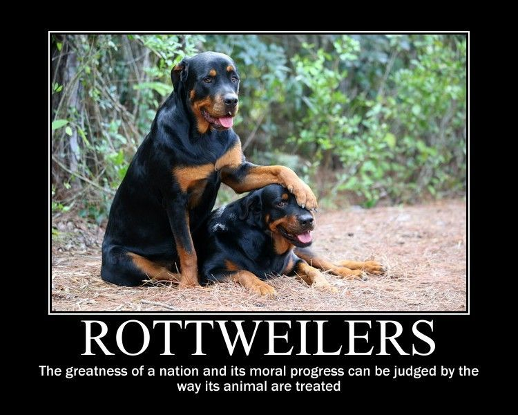 Funny Rottweiler Quotes And Pictures Rottweiler Motivational By Kitsune2008 Rottweiler Love Rottweiler Quotes Rottweiler