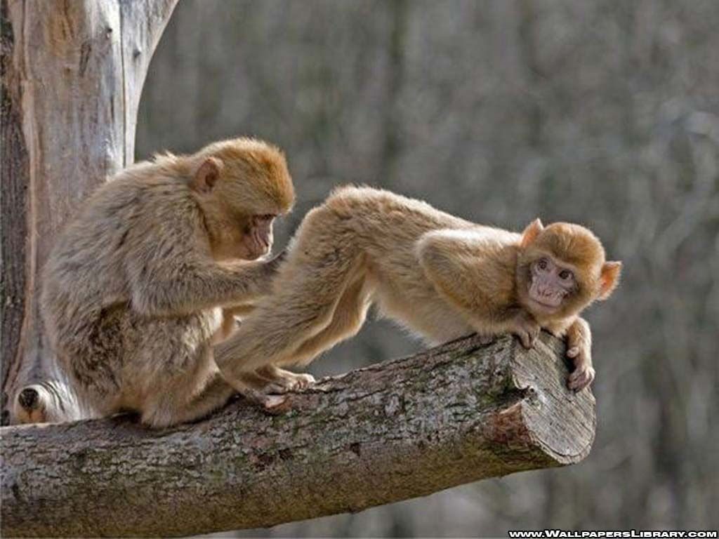 Monkey Wallpaper funny monkey pictures wallpapers wallpaper | hd wallpapers