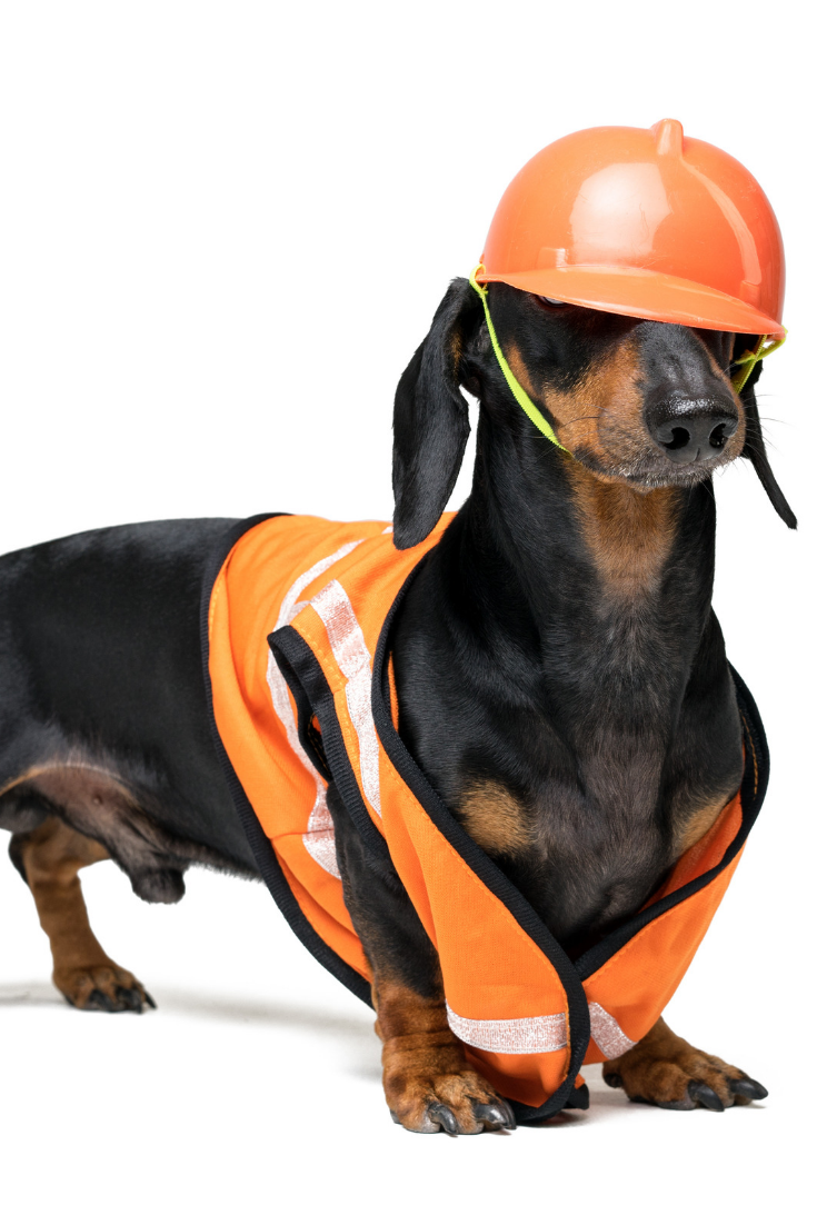 Dog Builder Dachshund In An Orange Construction Helmet Isolated On White Background Schattige Dieren Dieren Schattig