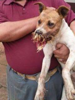 """""""O GRITO DO BICHO"""": Cachorro fica ferido com espinhos após ter contato..."""