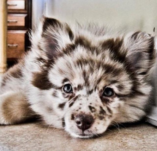 Aussiepom Australian Shepherd Pomeranian Mix Cute Animals Puppies Animals