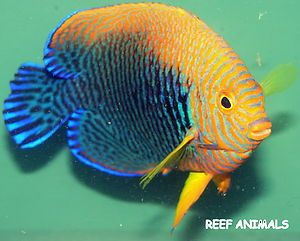 Potter S Angel 3 Centropyge Potteri Live Saltwater Fish Angelfish Pygmy Marine Fish Saltwater Aquarium Fish Saltwater Aquarium